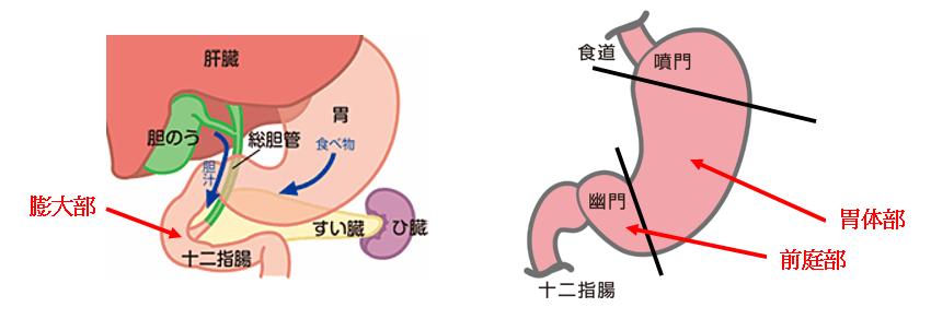 胃を中心とした臓器の図説