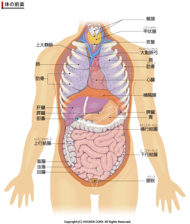 人体解剖図前面