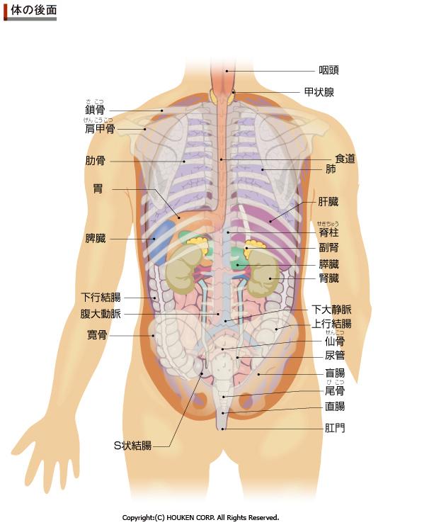 人体解剖図背面