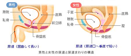 泌尿器の断面イラスト